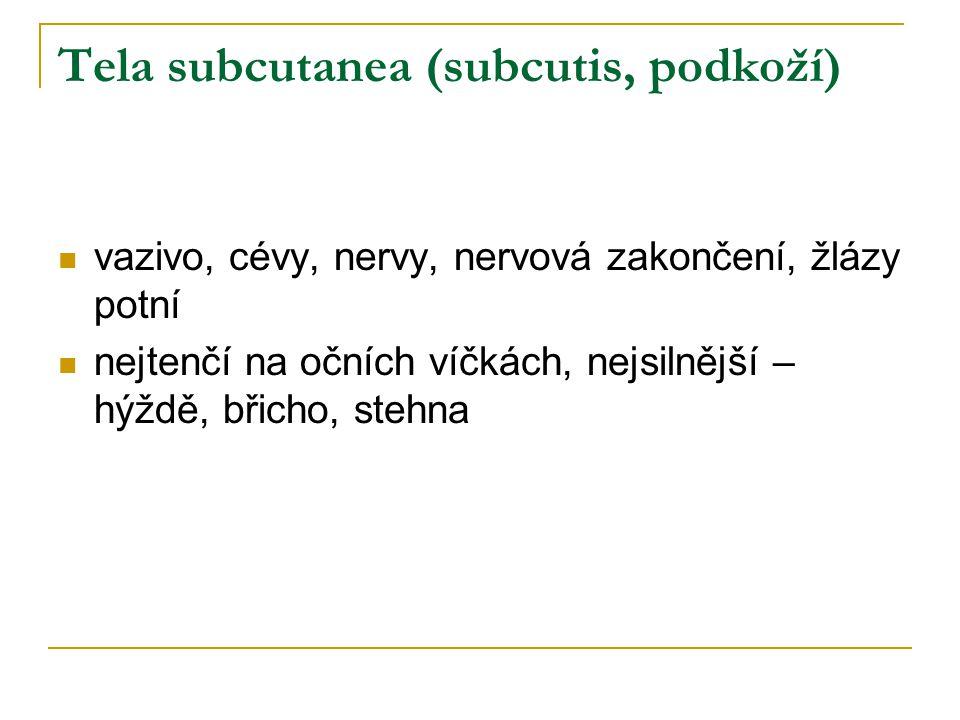 Tela subcutanea (subcutis, podkoží)