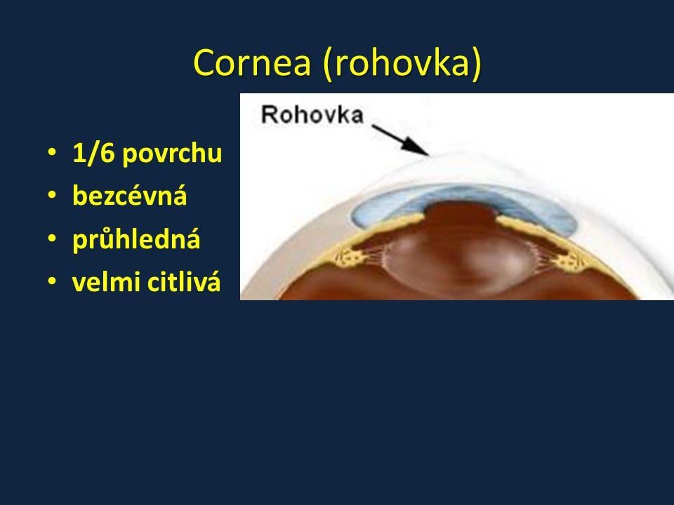 Cornea (rohovka) 1/6 povrchu bezcévná průhledná velmi citlivá