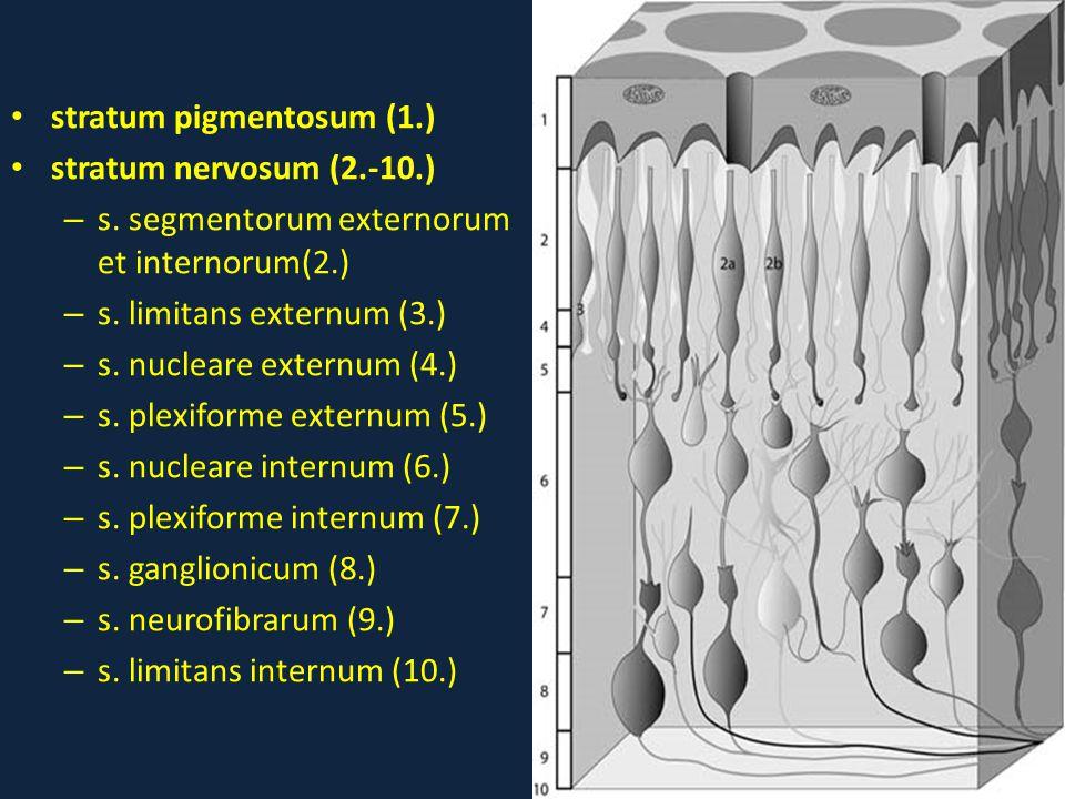 stratum pigmentosum (1.)