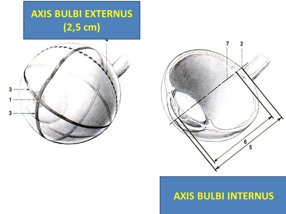 AXIS BULBI EXTERNUS (2,5 cm)