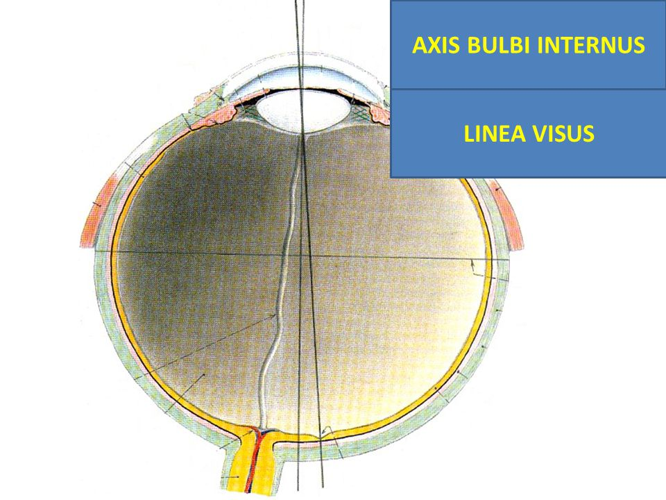 AXIS BULBI INTERNUS LINEA VISUS