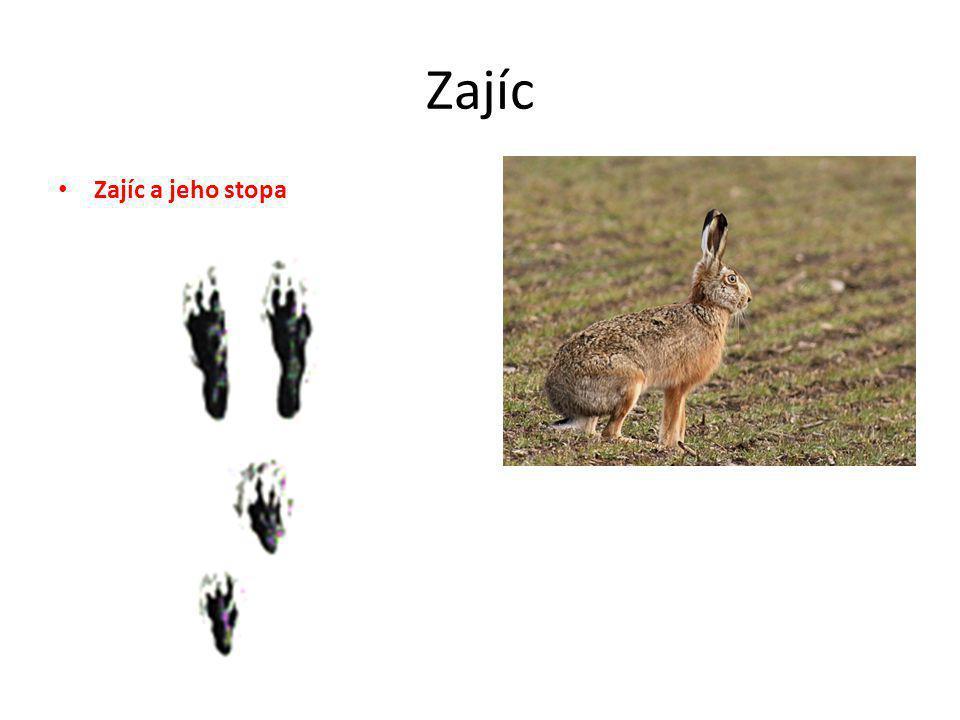 Zajíc Zajíc a jeho stopa