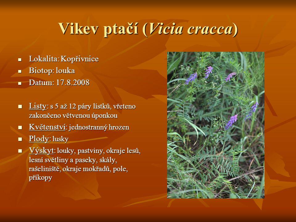Vikev ptačí (Vicia cracca)