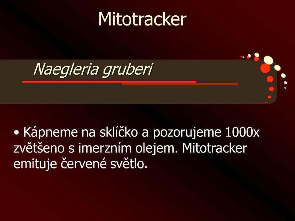 Mitotracker Naegleria gruberi
