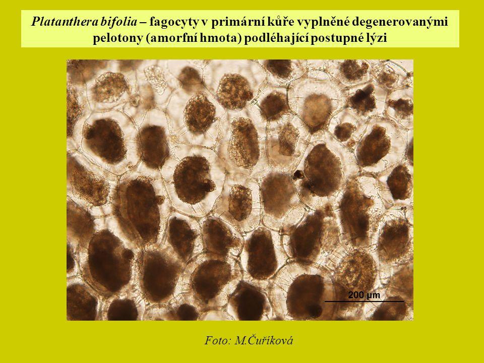 Platanthera bifolia – fagocyty v primární kůře vyplněné degenerovanými pelotony (amorfní hmota) podléhající postupné lýzi