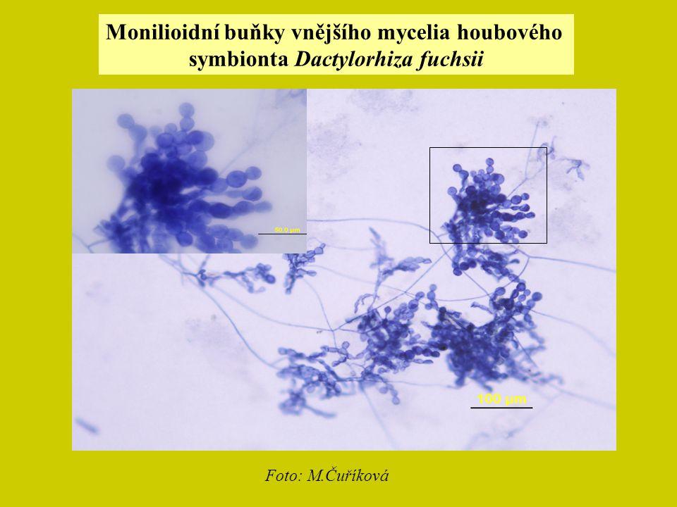 Monilioidní buňky vnějšího mycelia houbového