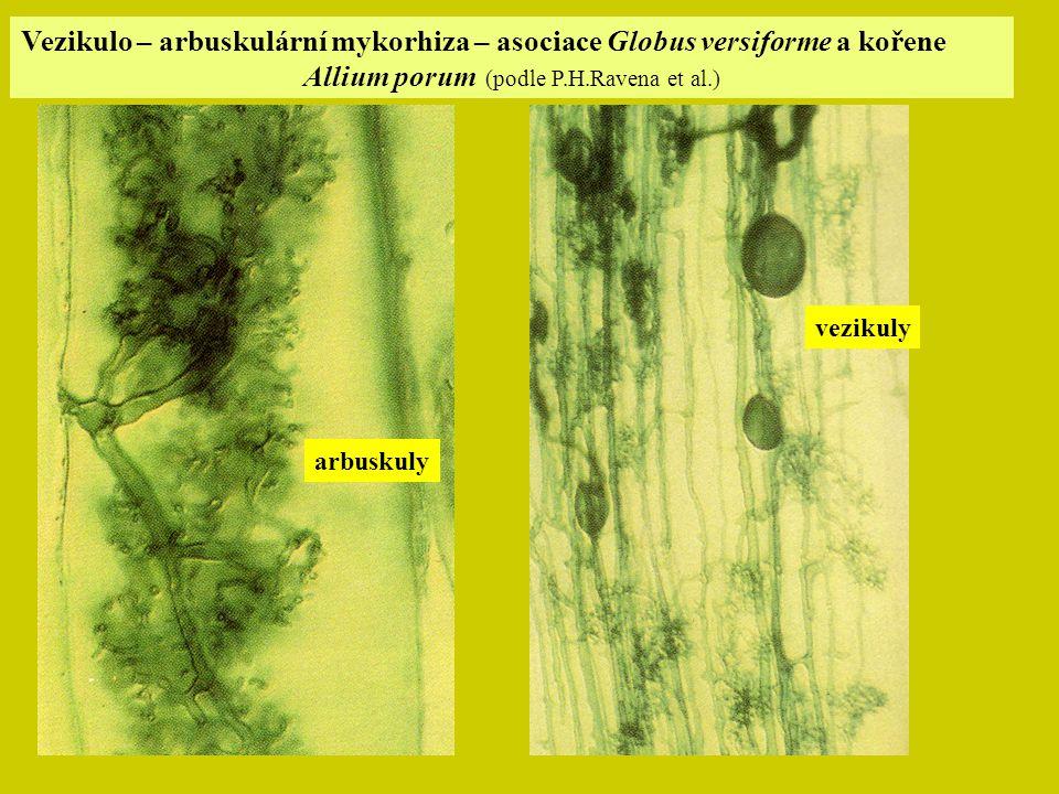 Allium porum (podle P.H.Ravena et al.)