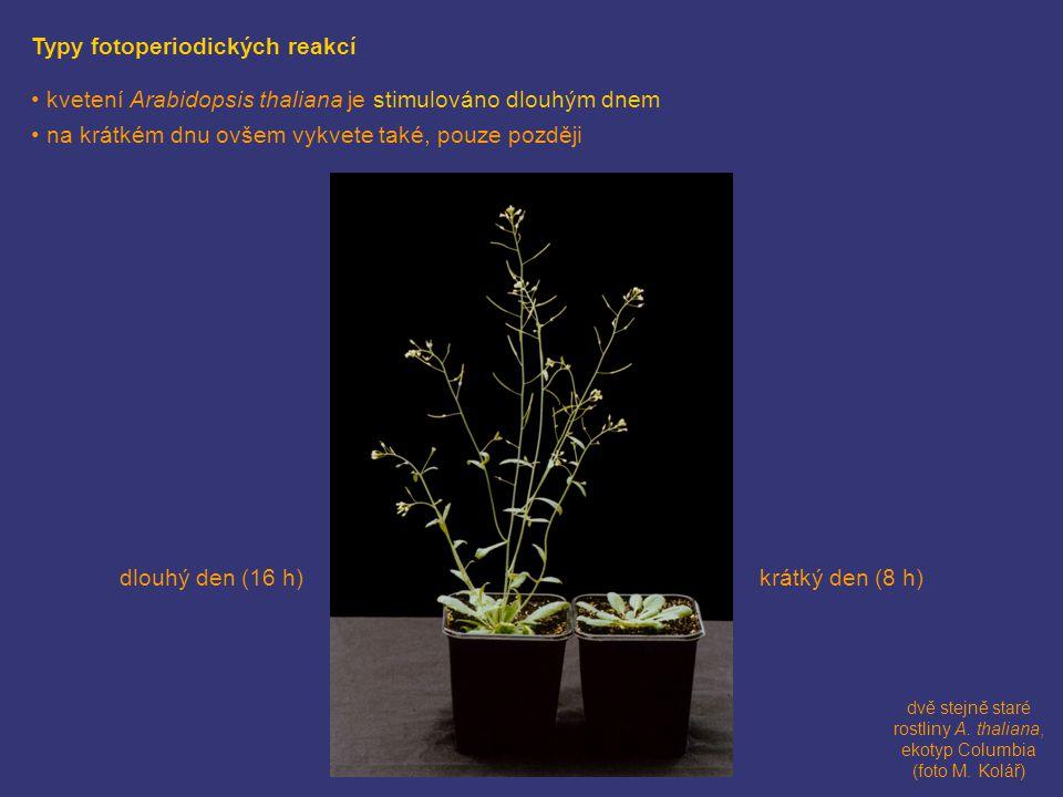 dvě stejně staré rostliny A. thaliana, ekotyp Columbia (foto M. Kolář)
