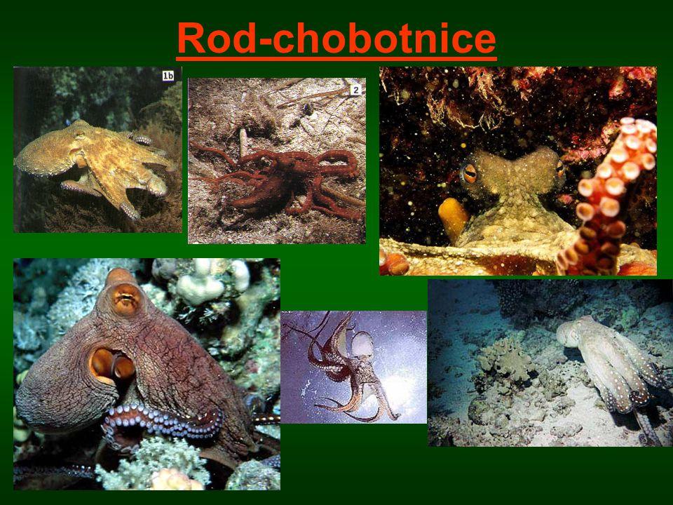 Rod-chobotnice