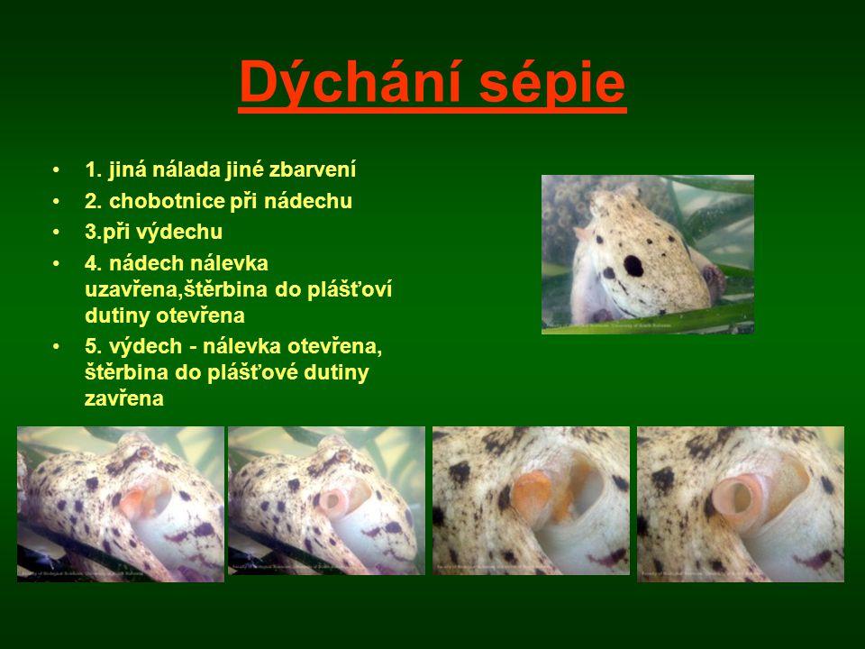 Dýchání sépie 1. jiná nálada jiné zbarvení 2. chobotnice při nádechu