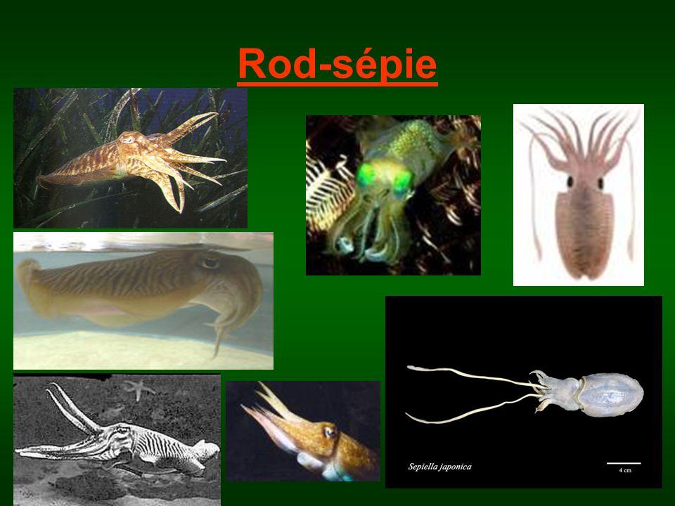 Rod-sépie