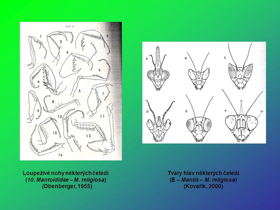 Loupeživé nohy některých čeledí (10. Mantoididae – M. religiosa)