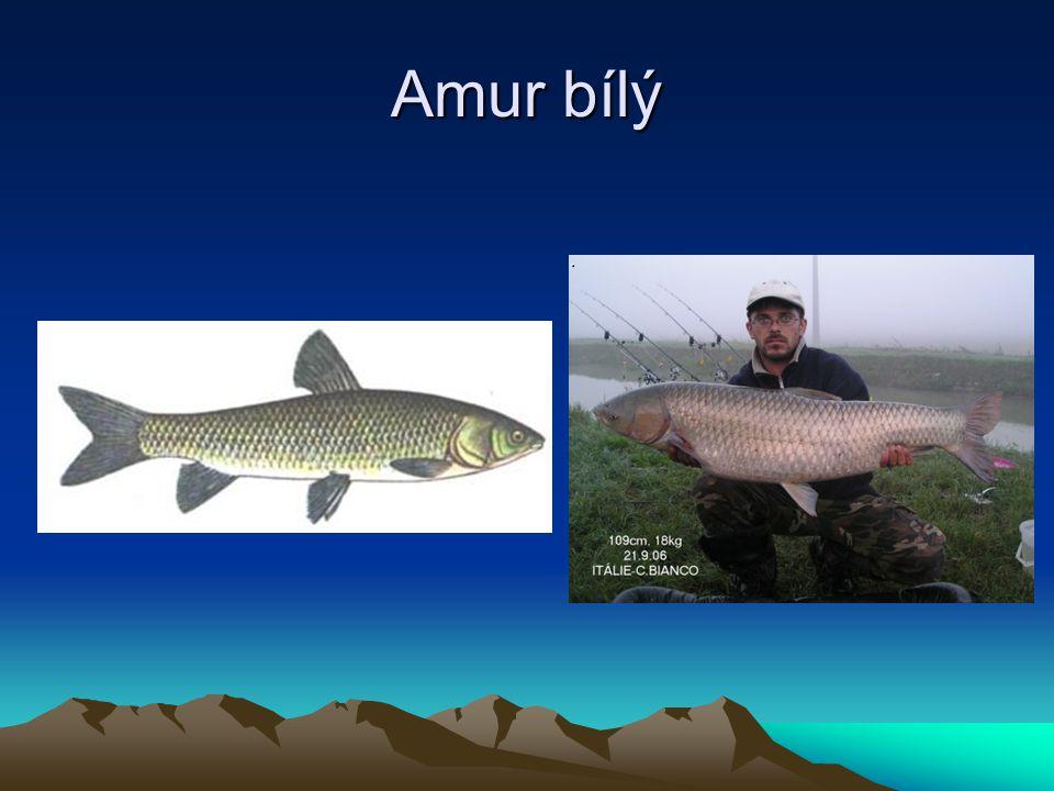 Amur bílý