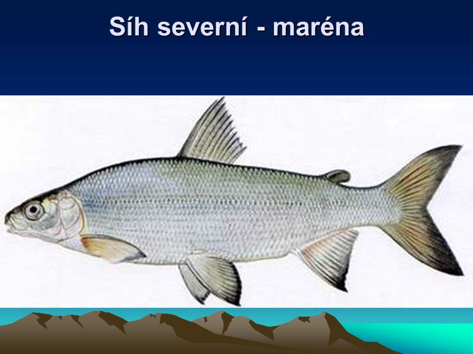 Síh severní - maréna