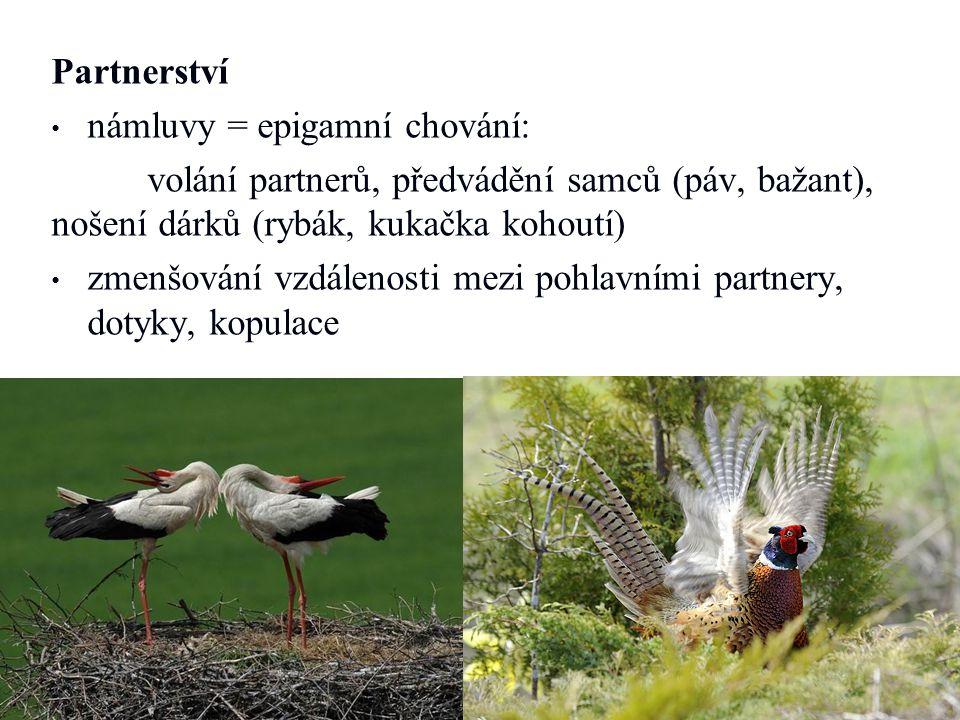 Partnerství námluvy = epigamní chování: volání partnerů, předvádění samců (páv, bažant), nošení dárků (rybák, kukačka kohoutí)