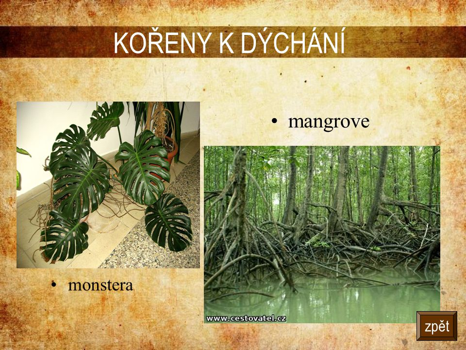 KOŘENY K DÝCHÁNÍ mangrove monstera zpět