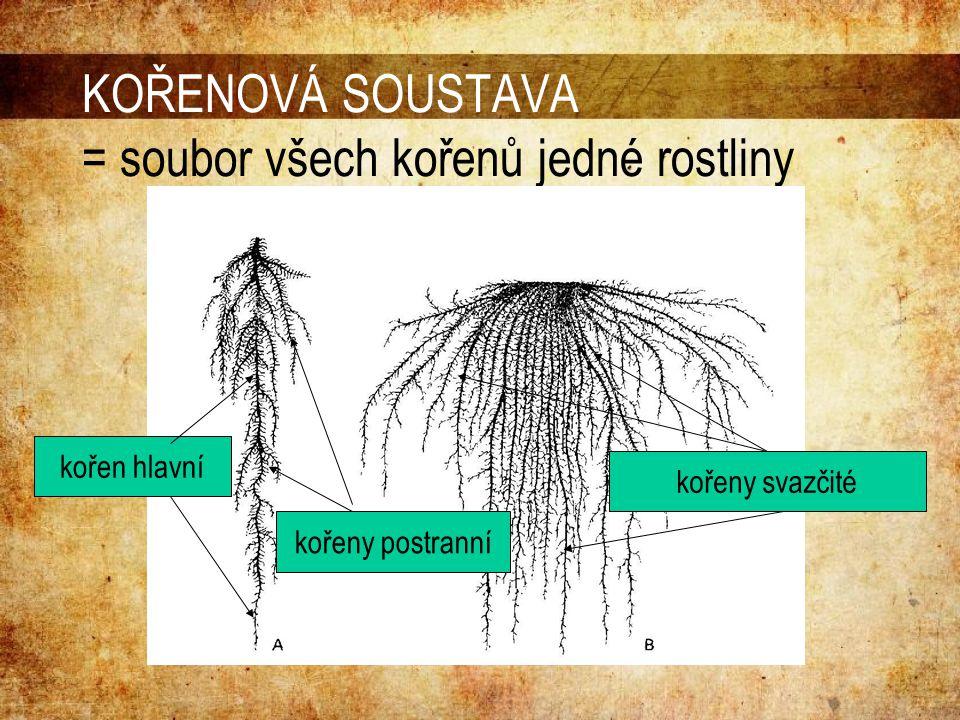 KOŘENOVÁ SOUSTAVA = soubor všech kořenů jedné rostliny