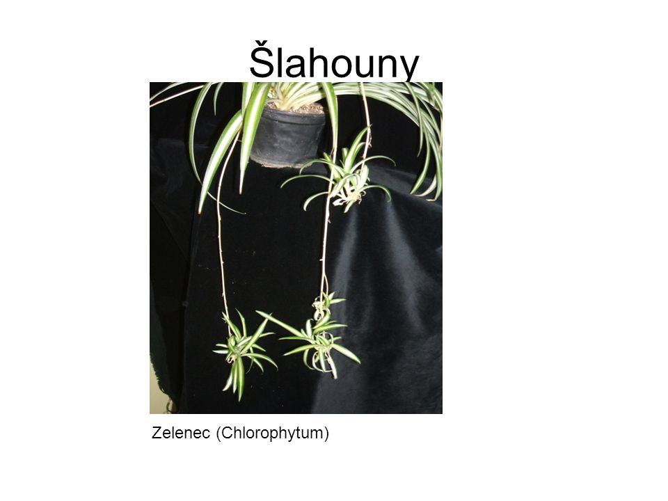 Šlahouny Zelenec (Chlorophytum)