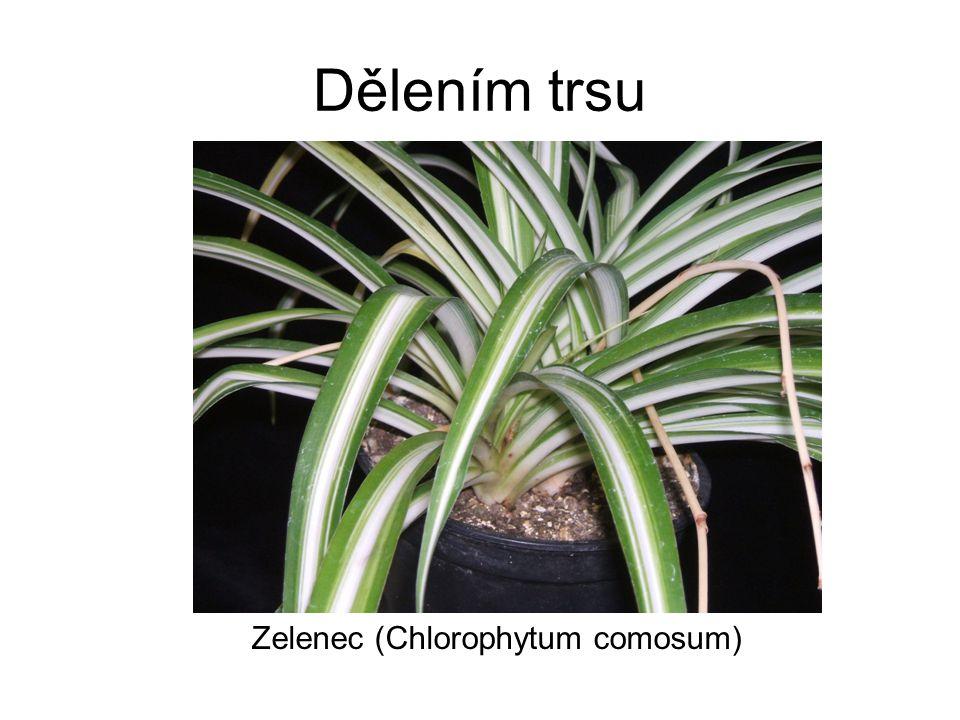 Dělením trsu Zelenec (Chlorophytum comosum)