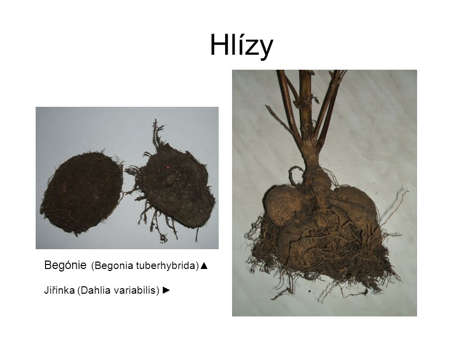 Hlízy Begónie (Begonia tuberhybrida)▲ Jiřinka (Dahlia variabilis) ►
