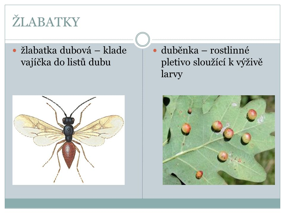 ŽLABATKY žlabatka dubová – klade vajíčka do listů dubu