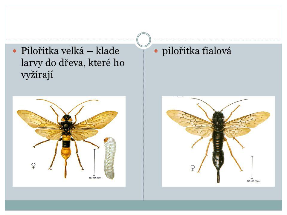 Pilořitka velká – klade larvy do dřeva, které ho vyžírají