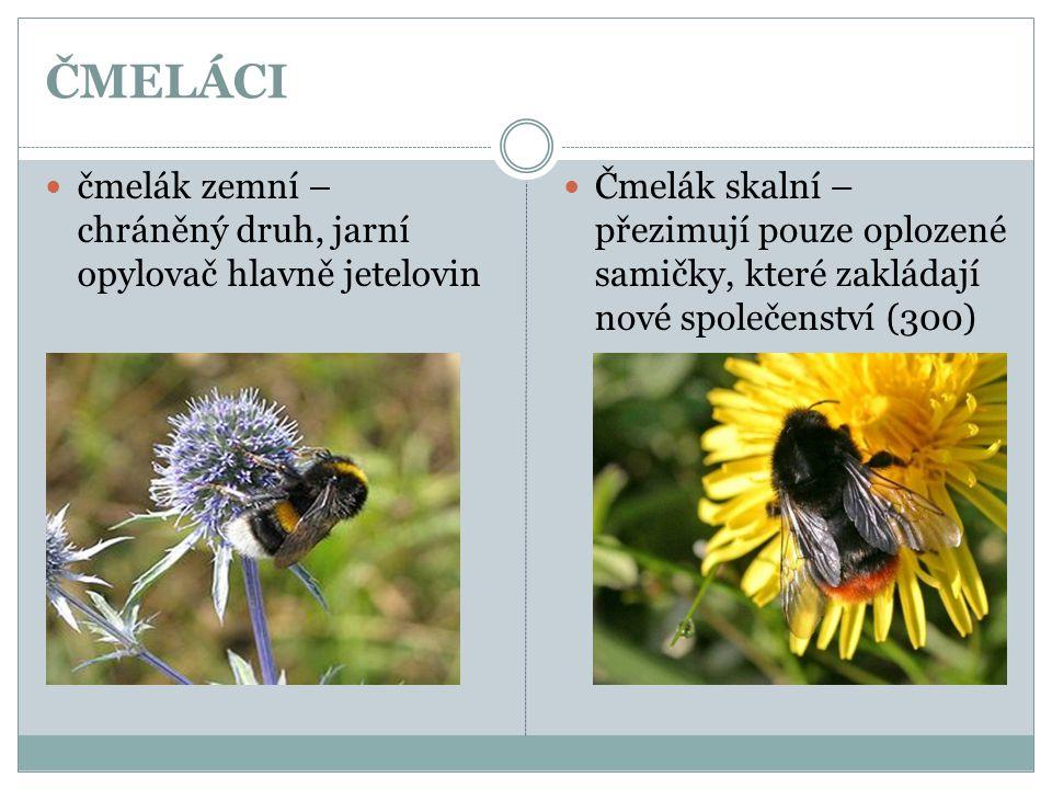 ČMELÁCI čmelák zemní – chráněný druh, jarní opylovač hlavně jetelovin