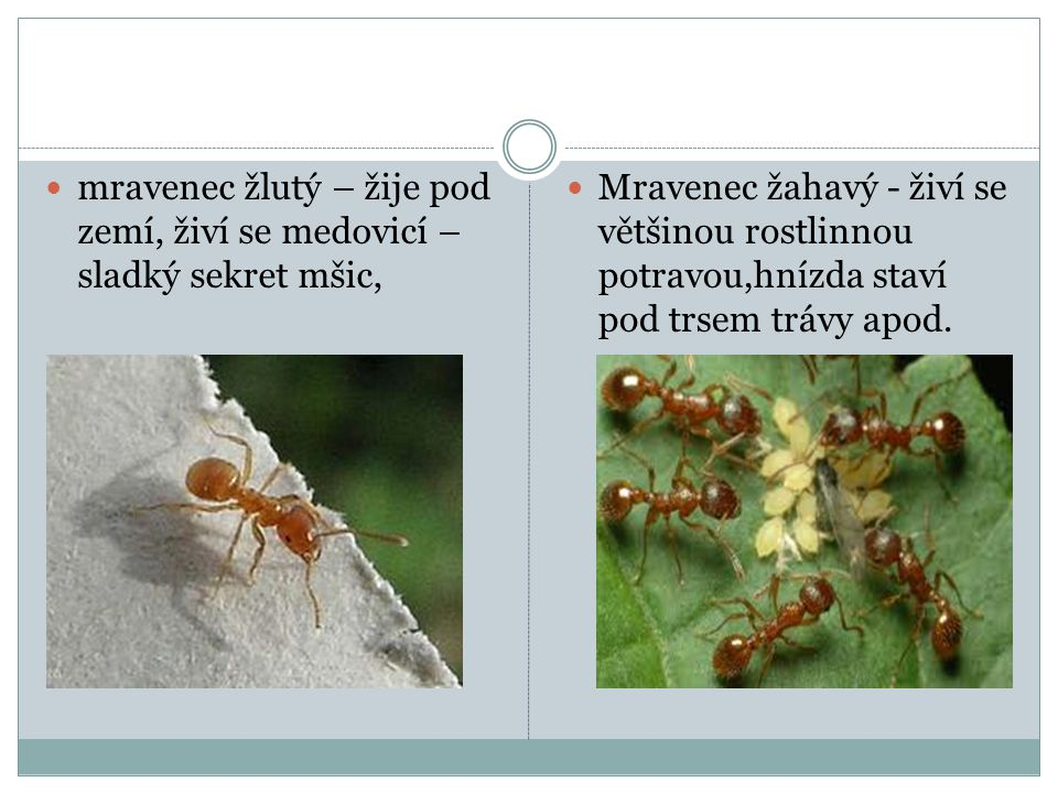 mravenec žlutý – žije pod zemí, živí se medovicí –sladký sekret mšic,