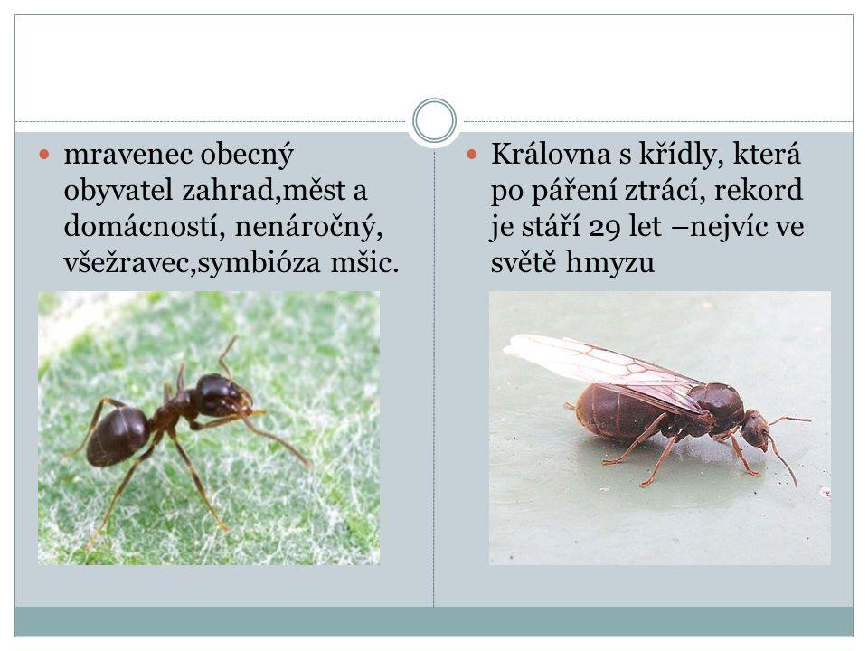 mravenec obecný obyvatel zahrad,měst a domácností, nenáročný, všežravec,symbióza mšic.