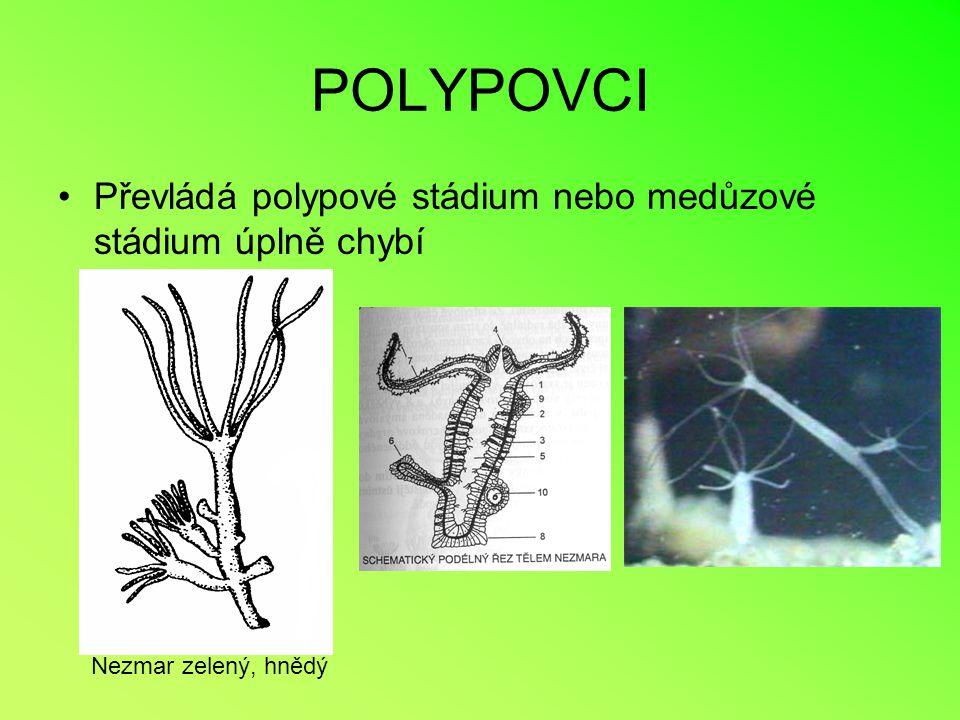 POLYPOVCI Převládá polypové stádium nebo medůzové stádium úplně chybí