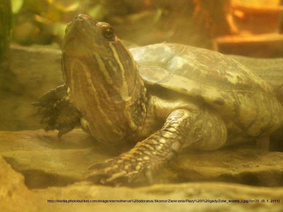 Nejmenší želva Nejmenším druhem želvy je želva klapavka smrdutá.
