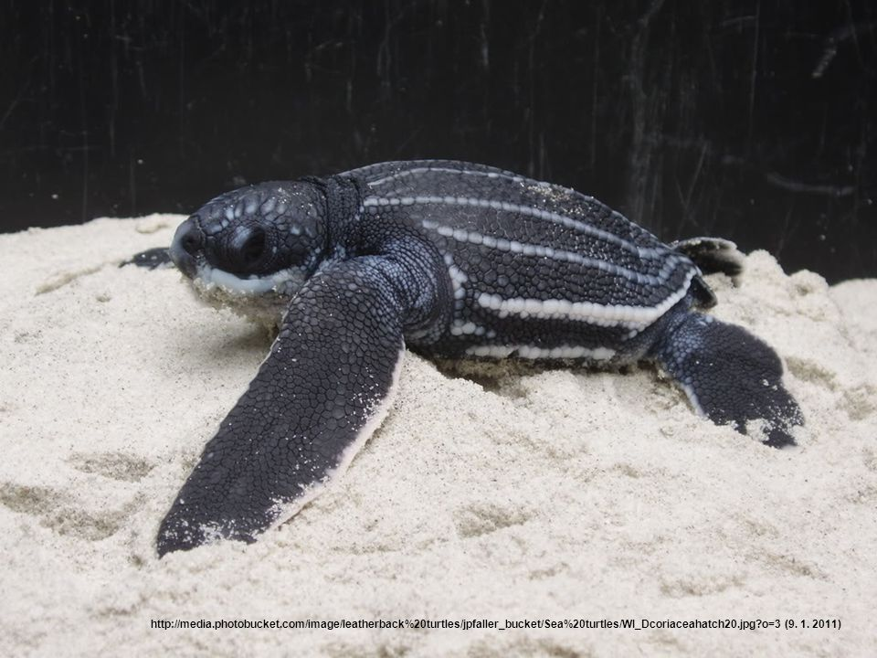 Nejrychlejší želva Nejrychlejšími želvami jsou mořské želvy.