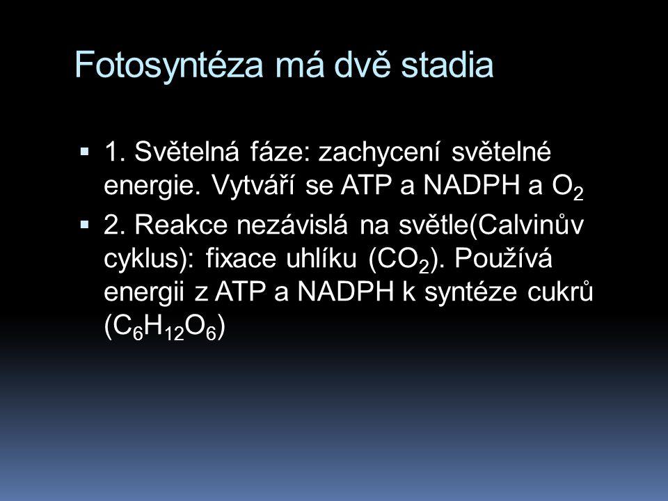 Fotosyntéza má dvě stadia