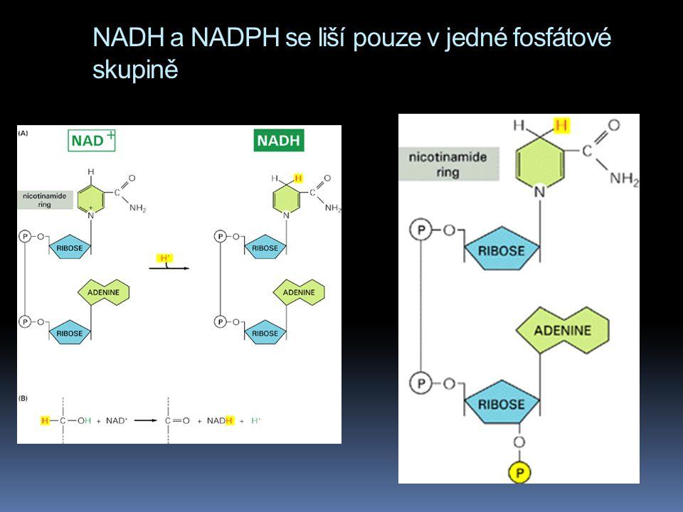 NADH a NADPH se liší pouze v jedné fosfátové skupině