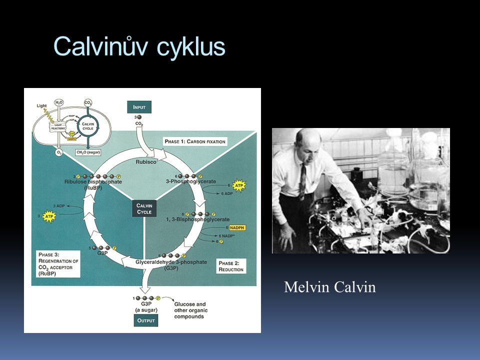 Calvinův cyklus Melvin Calvin