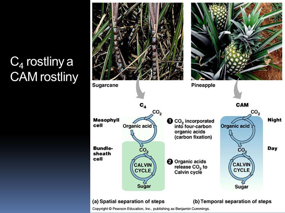 C4 rostliny a CAM rostliny