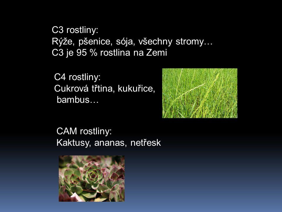 C3 rostliny: Rýže, pšenice, sója, všechny stromy… C3 je 95 % rostlina na Zemi. C4 rostliny: Cukrová třtina, kukuřice,