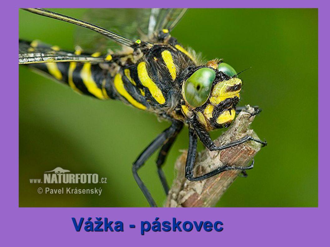 Vážka - páskovec