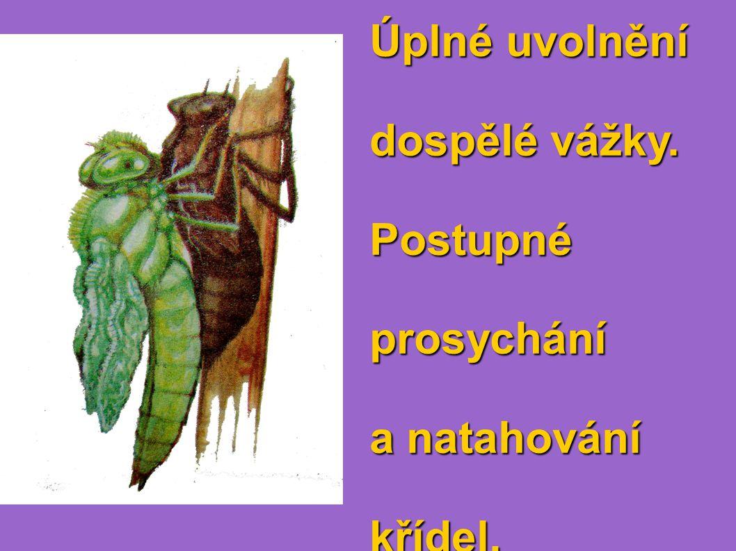 Úplné uvolnění dospělé vážky. Postupné prosychání a natahování křídel.