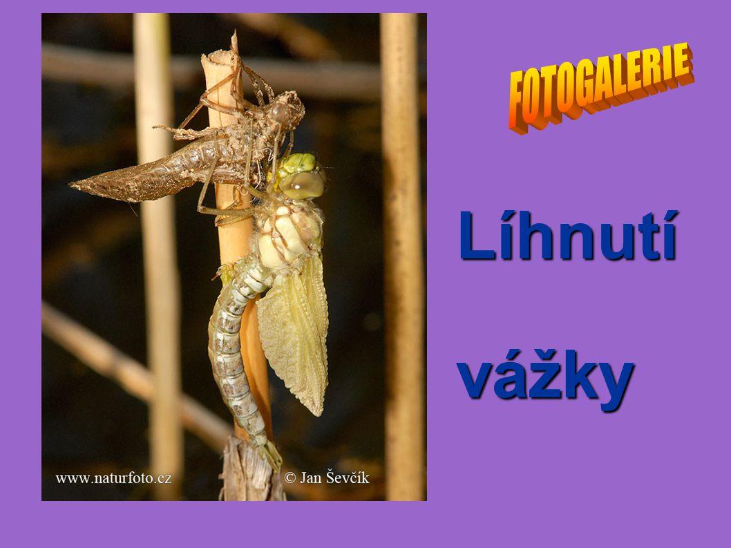 FOTOGALERIE Líhnutí vážky