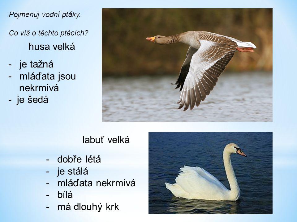 husa velká je tažná mláďata jsou nekrmivá - je šedá labuť velká