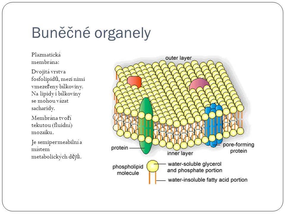 Buněčné organely Plazmatická membrána: