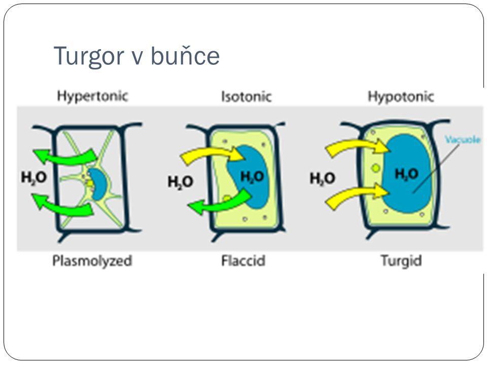 Turgor v buňce