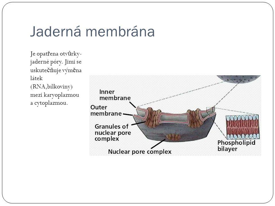 Jaderná membrána Je opatřena otvůrky-jaderné póry.