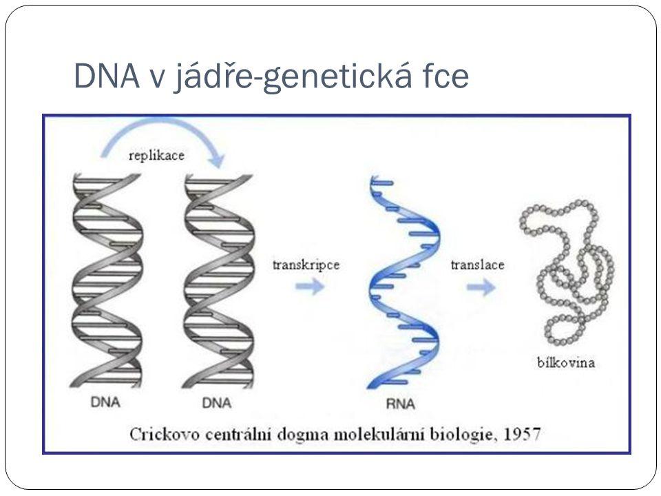 DNA v jádře-genetická fce