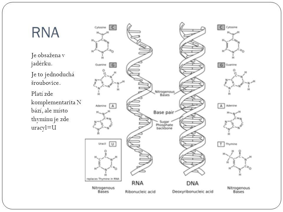 RNA Je obsažena v jadérku. Je to jednoduchá šroubovice.