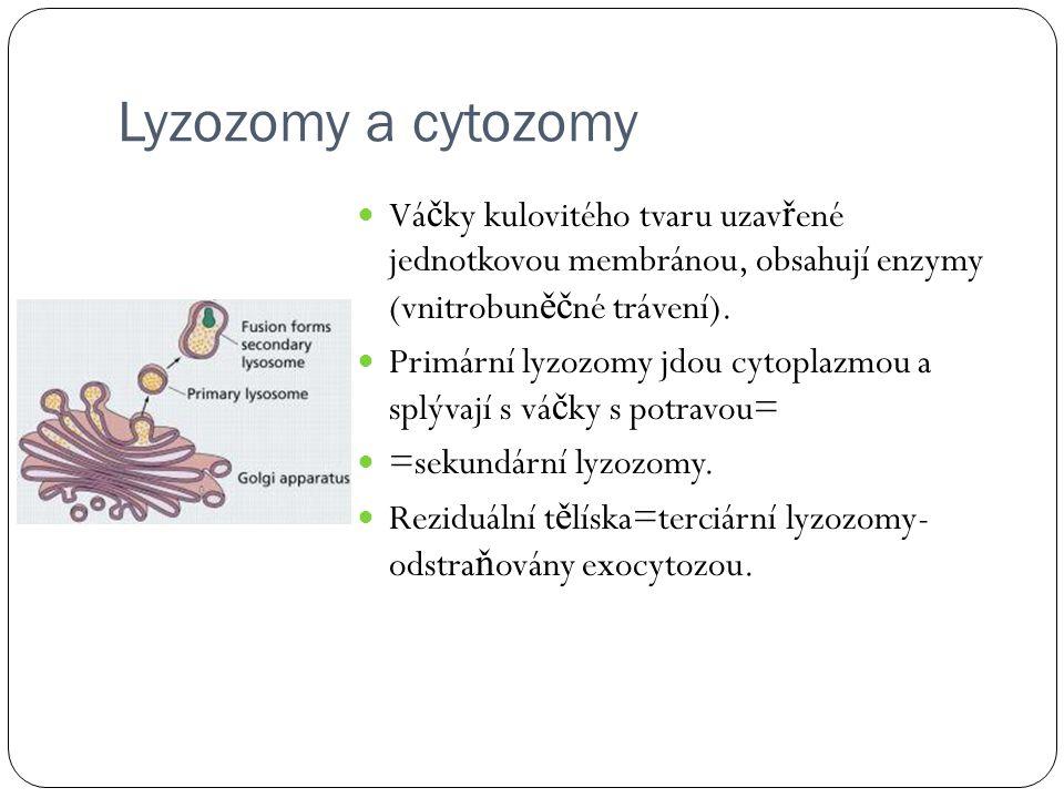 Lyzozomy a cytozomy Váčky kulovitého tvaru uzavřené jednotkovou membránou, obsahují enzymy (vnitrobuněčné trávení).