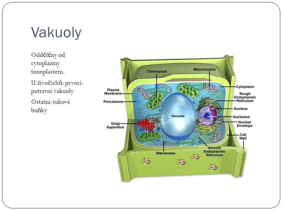 Vakuoly Oddělěny od cytoplazmy tonoplastem.
