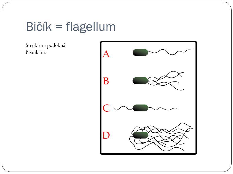 Bičík = flagellum Struktura podobná řasinkám.