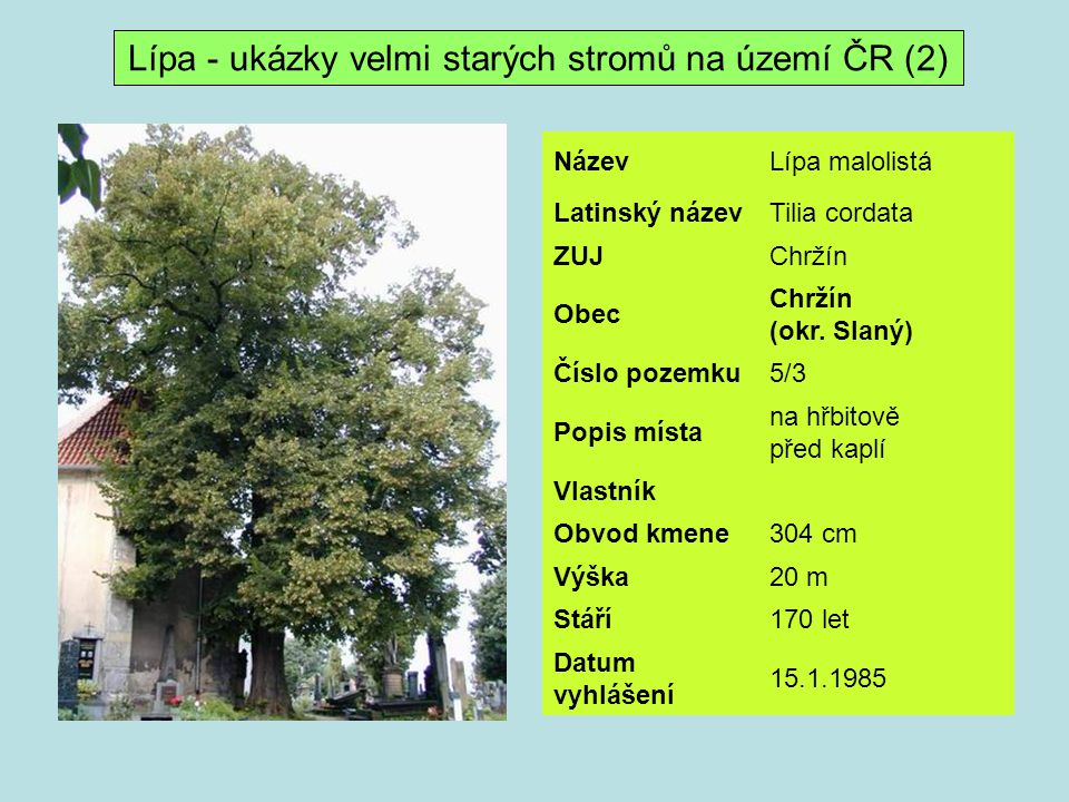 Lípa - ukázky velmi starých stromů na území ČR (2)